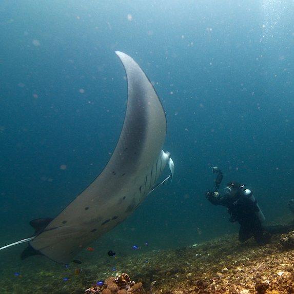Ikan Pari Manta, sumber ig ramadianbachtiar