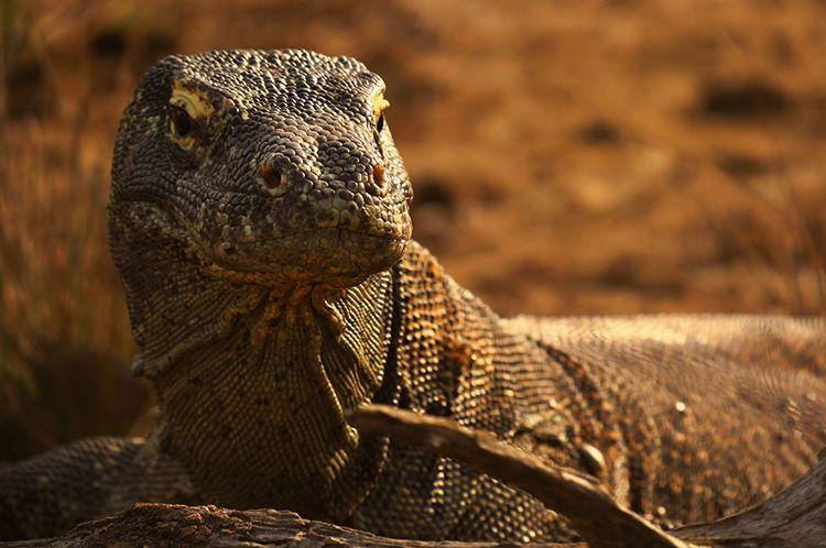 Komodo Pulau Rinca, sumber ig alephrocco