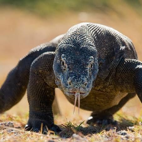 Hewan Purba Komodo, sumber ig komodo_dragons